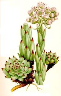 Des vertus des plantes par Macer Floridus, 1832 Joubarbe_lexique_plantes